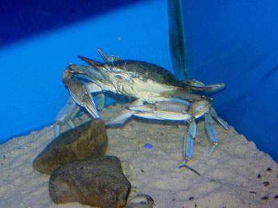 Unidentified Crab