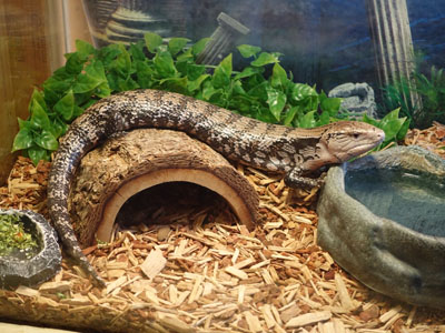 Indonesian Blue-tongued Skink