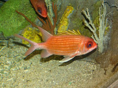 Dusky Squirrelfish