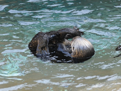 Northern Sea Otter