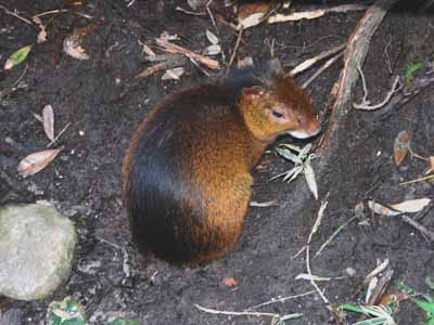 Golden-rumped Agouti