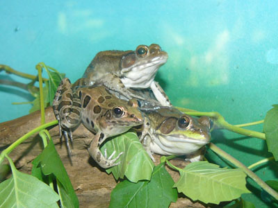 Two Bronze Frogs & One Southern Leopard Frog