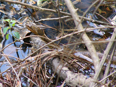 Midland Water Snake