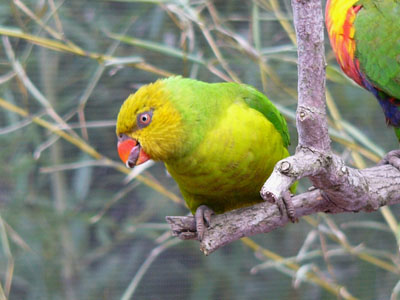 Olive-headed Lorikeet