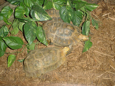 Forest Hinge-back Tortoise