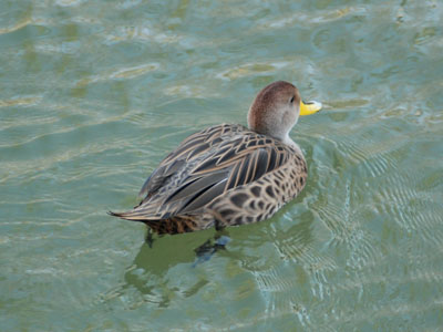 Brown Pintail