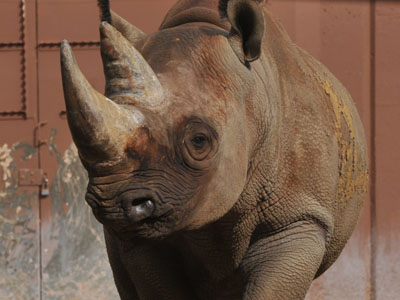 South-central Black Rhinoceros