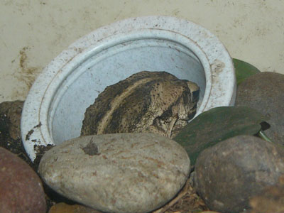 Coastal Plains Toad