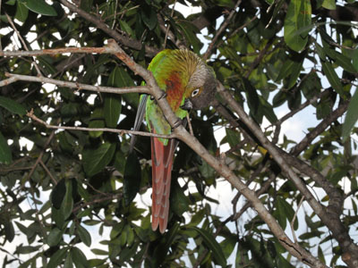 Green-cheeked Parakeet