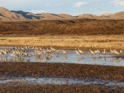 Unidentified Meadowlark