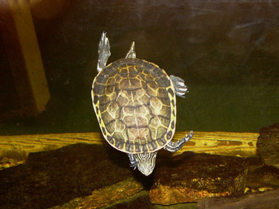 Chicken Turtle