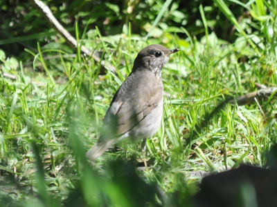 Unidentified Thrush