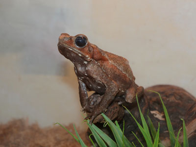 Smooth-sided Toad