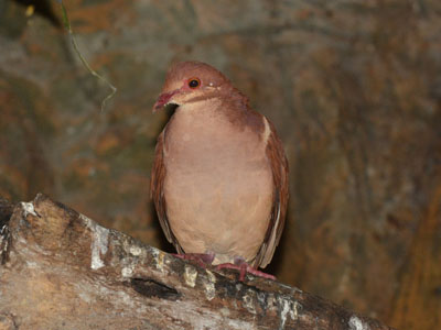 Unidentified Dove