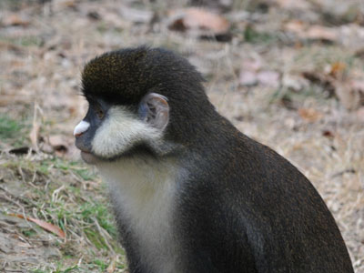 Black-cheeked White-nosed Monkey