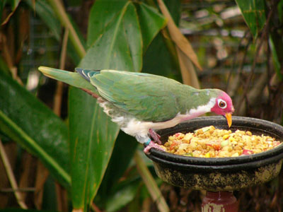 Jambu Fruit Dove