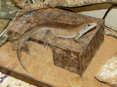 Great Plated Lizard
