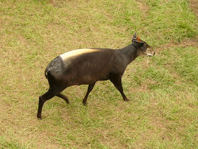 Yellow-backed Duiker