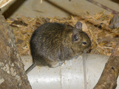 Common Degu