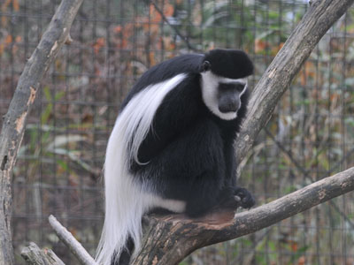 Black & White Colobus
