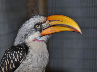Northern Yellow-billed Hornbill