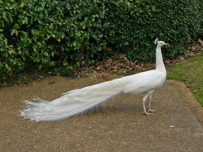 White Peafowl