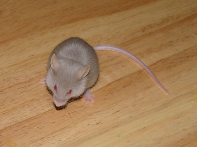 Domestic Mouse