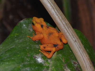 Panamanian Golden Frog