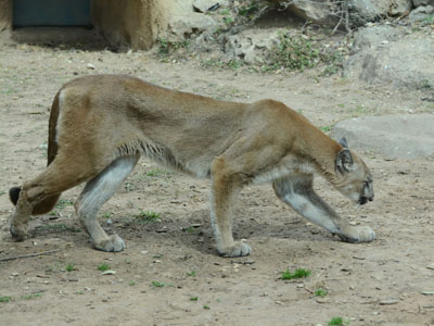 White-throated Guenon