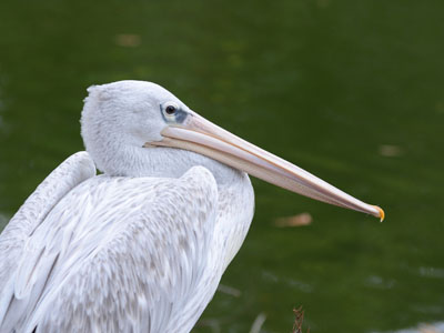 Banded Egyptian Cobra