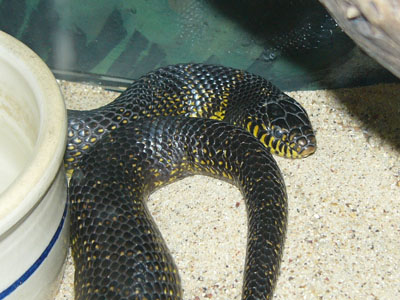 Black Kingsnake