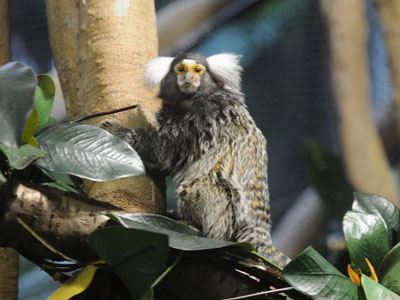 White-tufted-ear Marmoset