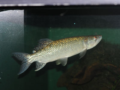 African Pike Characid
