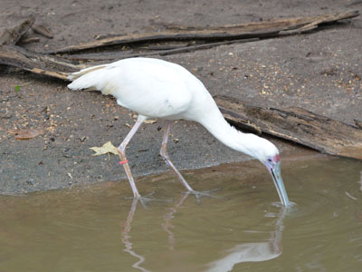 Clay-colored Sparrow