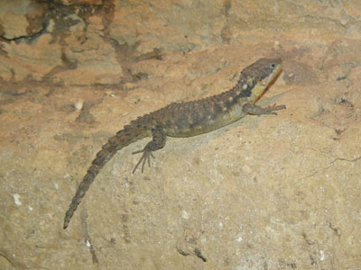 Tropical Girdled Lizard