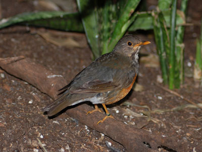 Black-breasted Thrush