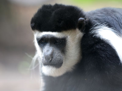 Eastern Black & White Colobus
