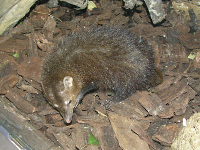 Dark Mongoose