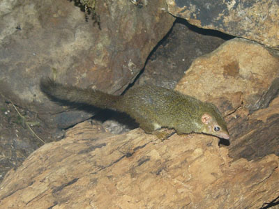 Lesser Tree Shrew