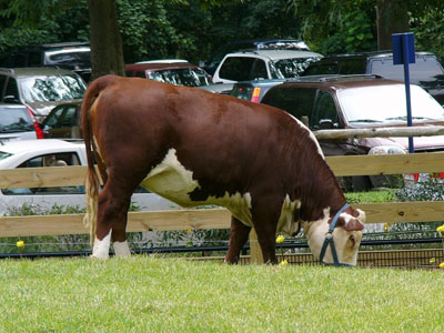 Polled Hereford Cattle