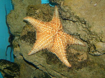 Bahama Sea Star
