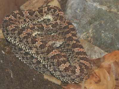 Slender Hognosed Pit Viper