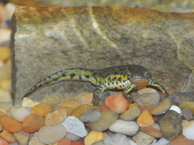 Black-spotted Newt