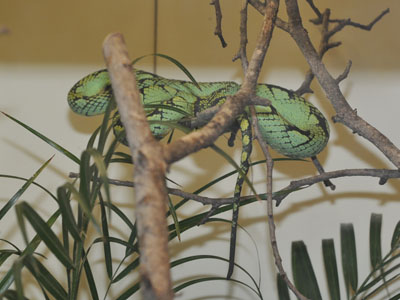 Sri Lanka Tree Viper