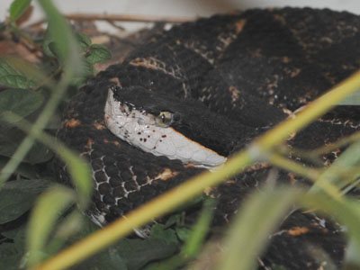 Sharp-nosed Viper