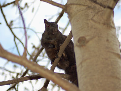 Unidentified Squirrel