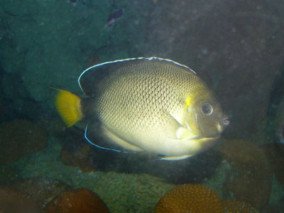 Indian Yellowtail Angelfish