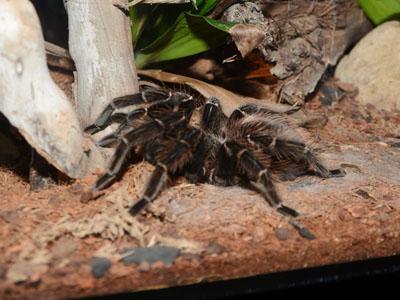 Salmon Pink Bird-eating Tarantula