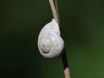 Unidentified Snail