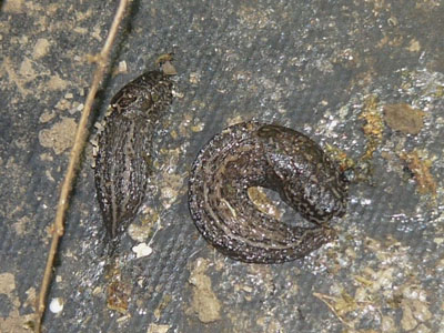 Unidentified Slug
